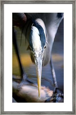 Vancouver Great Blue Heron Head On Framed Print
