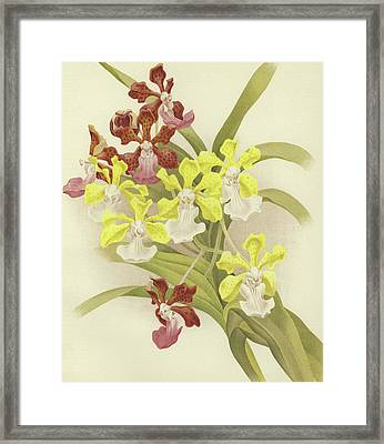 Vanda Insignis And Var Scroederiana  Framed Print by English School