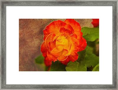 Variegated Beauty - Rose Floral Framed Print by Barry Jones