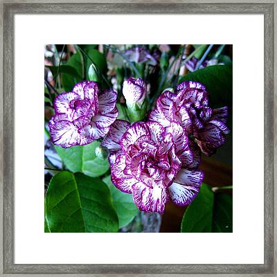 Variegated Carnations Framed Print by Will Borden