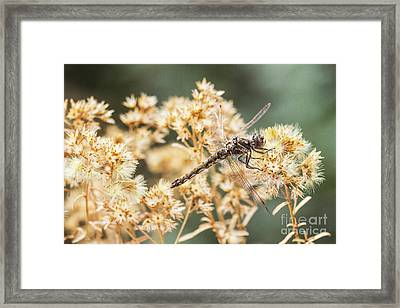 Variegated Meadowhawk On Yellow  Framed Print