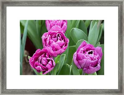 Varietal Tulip Pink In Garden Framed Print