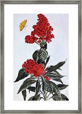 Variety Of Amaranthus Framed Print by Pierre-Joseph Buchoz