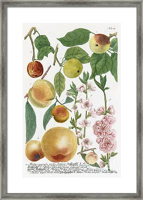 Various Apples With Blossom Framed Print by Georg Dionysius Ehret