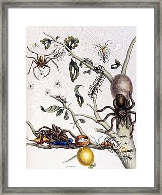 Various Arachnids From South America, 1726  Framed Print
