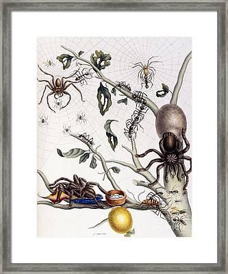 Various Arachnids From South America, 1726  Framed Print
