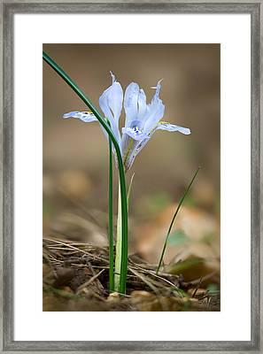 Vartan's Iris Framed Print by Yuri Peress