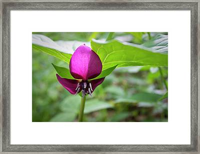 Framed Print featuring the photograph Vasey's Trillium  by Ben Shields