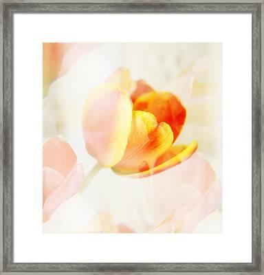 Veiled Tulip Framed Print