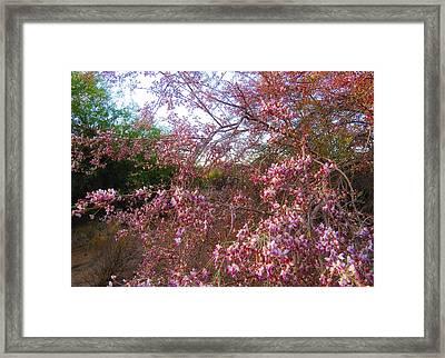 Vekol Wash Desert Ironwood In Bloom Framed Print