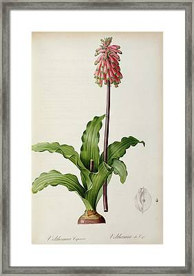 Veltheimia Capensis Framed Print by Pierre Joseph Redoute