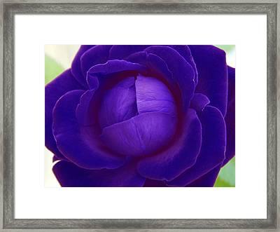 Velvet Blue Lettuce Rose Framed Print