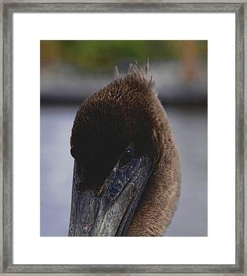 Velvet Brown Pelican Framed Print by Jody Lovejoy