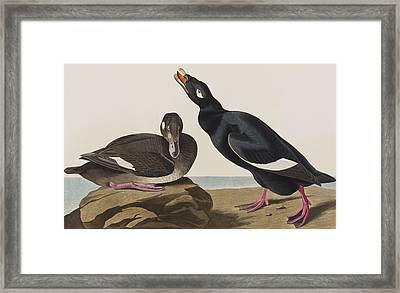 Velvet Duck Framed Print by John James Audubon