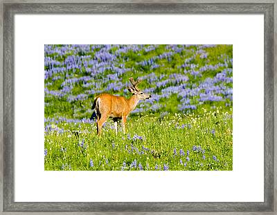 Velvet On Lupine Framed Print by Mike  Dawson