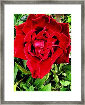 Velvet Red Rose Framed Print