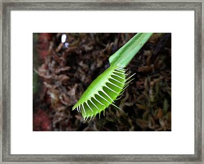 Venus Fly Trap Framed Print by Sahil Saif