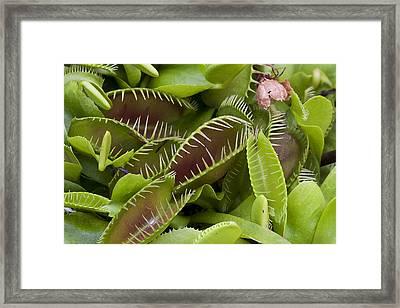 Framed Print featuring the photograph Venus Flytrap by Ken Barrett