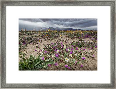 Verbena And Primrose Framed Print by Peter Tellone