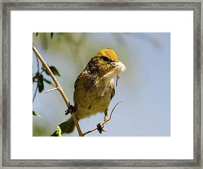 Verdin Building A Nest Framed Print
