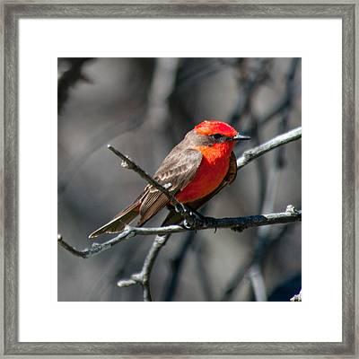 Framed Print featuring the photograph Vermilion Flycatcher by Dan McManus