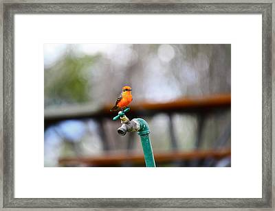 Vermilion Flycatcher Two Framed Print