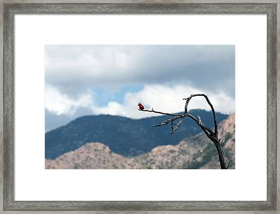 Vermillion Flycatcher Male Framed Print