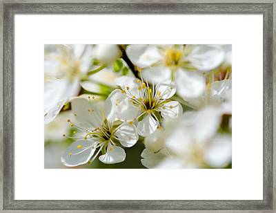 Vermont Apple Blossoms Framed Print