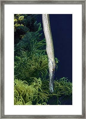 Vertical Trumpet Fish Framed Print by Jean Noren