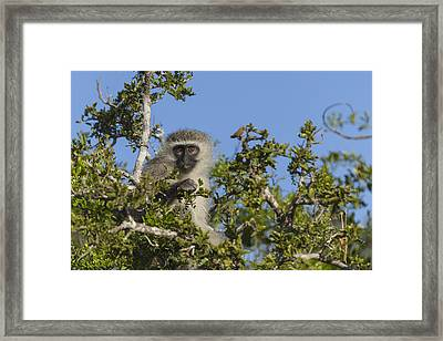Vervet Monkey Perched In A Treetop Framed Print