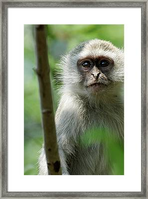 Vervet Monkey Framed Print by Robert Shard