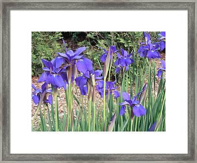 Very Blue Japanese Iris Framed Print