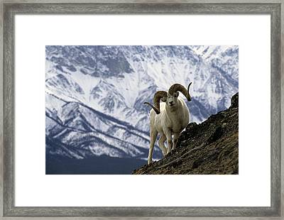 Very Large Dall Sheep Ram On The Grassy Framed Print by Michael S. Quinton