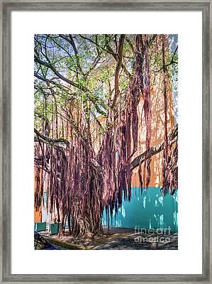 Very Old Tree Framed Print by David Zanzinger