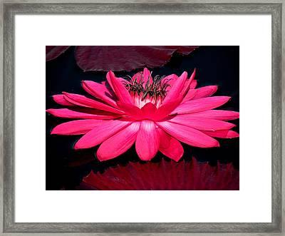 Very Pink Framed Print by Rosalie Scanlon