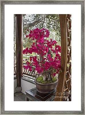 Vibrant And Blooming Bonsai Tree. Framed Print