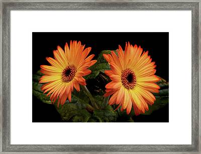 Framed Print featuring the photograph Vibrant Gerbera Daisies by Terence Davis
