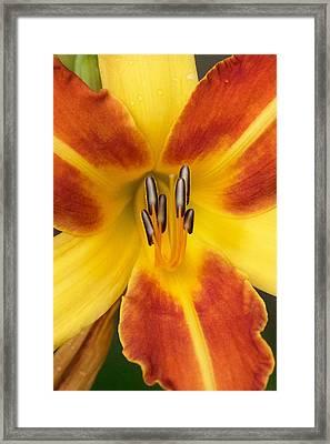 Vibrant Lilly Framed Print