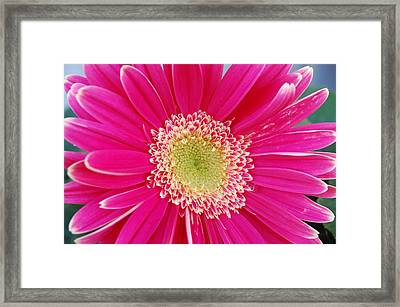 Vibrant Pink Gerber Daisy Framed Print by Amy Fose