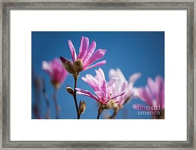 Vibrant Pink Magnolia Flowers Framed Print