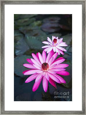 Vibrant Waterlilies Framed Print by Dana Edmunds - Printscapes