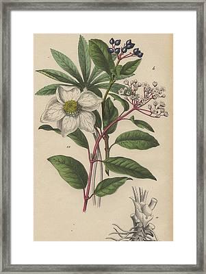 Viburnum Tinus And Heleborus Niger Christmas Rose Framed Print by German Botanical Artist