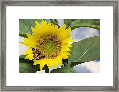 Viceroy And Sunflower Framed Print