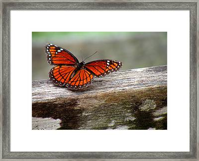 Viceroy Butterfly Front View Framed Print by Rosalie Scanlon
