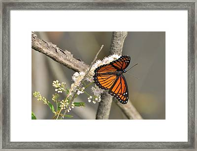 Viceroy Butterfly Framed Print by Gerald Hiam