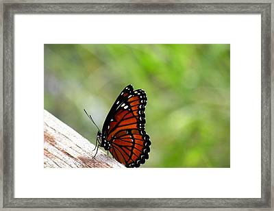 Framed Print featuring the photograph Viceroy Butterfly Side View by Rosalie Scanlon