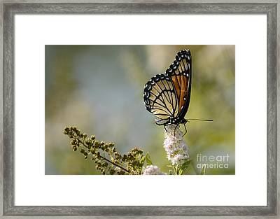 Viceroy Framed Print by Randy Bodkins