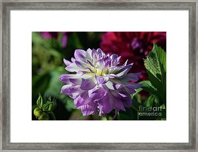 Victoria Ann Dahlia Framed Print