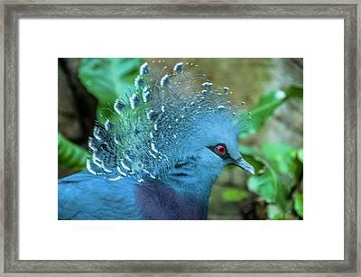 Victoria Crowned Pigeon Framed Print by Daniel Hebard