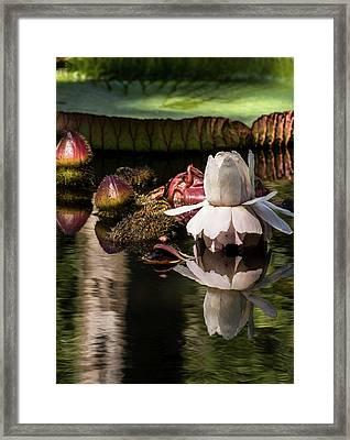 Victoria Cruziana Framed Print